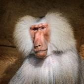 Retrato del Babuino de hamadryas macho adulto — Foto de Stock