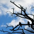 Silhouette dove on a branch against the blue sky — Stock Photo #64336267