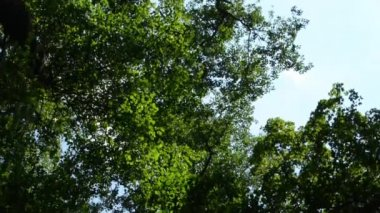 Green forest (leaves) - treetop - slider - blue sky — Stock Video