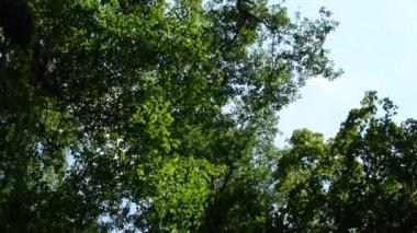Green forest (leaves) - treetop - slider - blue sky — Stock Video