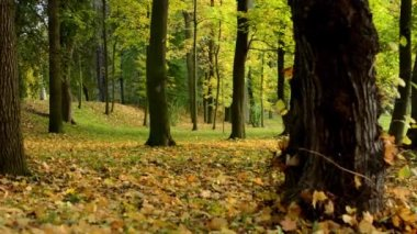 Autumn park (forest - trees) - fallen leaves — Stock video