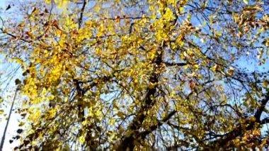 Autumn tree - treetop - blue sky - sunny — Stock Video