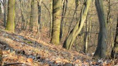Bare forest - sunny - slider move — Stock Video