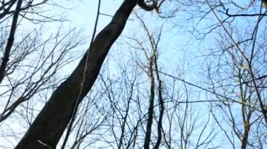 Winter bare forest - trees - shot up to blue sky and treetop - sunny — Stock Video