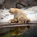 Polar bear with cubs — Stock Photo #65638561