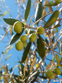 Closeup of olives and leaves on a olive tree — Stock Photo