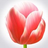 赤いチューリップの花 — ストック写真