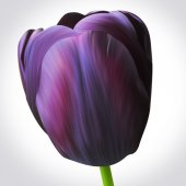 Black tulip flower — Stock Photo