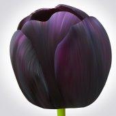 Черный тюльпан цветок — Стоковое фото