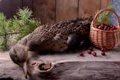 Wounded wild duck hunter — Stock Photo