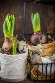 Spring decoration with quail eggs and hyacinth flower — Stock Photo
