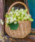 Medical linden flowers harvest wicker basket — Stock Photo