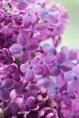 Blooming lilac purple flowers close up — Photo