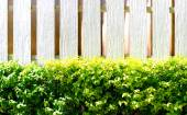 Hedge and white wooden wall — Stock Photo