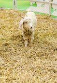 Lamm på hey i gård — Stockfoto