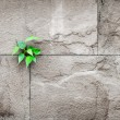 Pipal leaf growing through crack in old sand stone wall,survival — Stock Photo #73037033