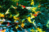 Koi fishes in pond — Stock Photo