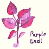 Watercolor painted purple basil plant. — Stock Vector