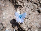 Küçük mavi kelebek — Stok fotoğraf