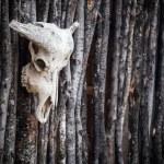 crâne d'un buffle d'eau — Photo #54619851