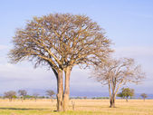 Trees on the savanna in Mikumi National Park — Stock Photo