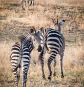 Zebras on the savanna in Africa. — Stock Photo