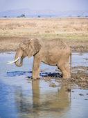 ミクミ国立公園、タンザニア、アフリカの男性象. — ストック写真
