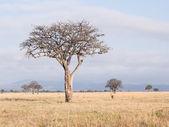 Impalas on savanna in Africa. — Foto Stock