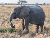 Elephant in Mikumi National Park, Tanzania — Stock Photo