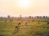 African antelopes called impala — Stock Photo
