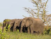Elephants on savanna — Foto Stock