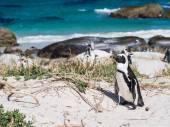African penguins in Simon's Town — Stock Photo