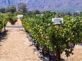 Vineyards in the wine region — Stock Photo