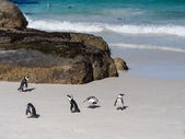 African penguin in Simon's Town — 图库照片
