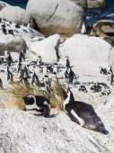 African penguin in Simon's Town — Stock Photo