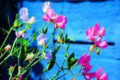 Sugar pea pink flowers on blue wooden background — Stok fotoğraf