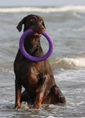 Doberman dog playing in the water. — Stock Photo