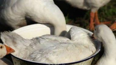 Bílý domácí husy plavat v pánvi. — Stock video