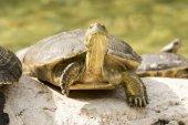 Wild turtle — Stock Photo