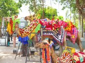 Camels in colourful traditional costumes udaipur india — Stock Photo
