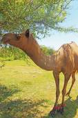 Camel eating from tree india — Foto de Stock
