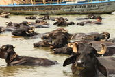 Farmer washing his cows in river ganges india — Stock Photo