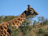 Giraffe in the Bush — Stock Photo