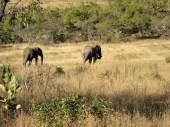 Elephants in Scrubland — Stock Photo