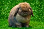 Holland lop — Stock Photo