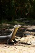 Australian Monitor Lizard — Stock Photo