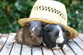 Guineapigs In The Hat — Stock Photo