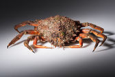 European spider crab, crustacean, seafood, orange, red, isolated — Stock Photo