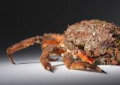 Reef with legs, claw, camouflage, imitation, mimicry, spine, orange — Stock Photo