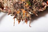 Camouflage, reef imitation, mimicry, shell, spine, antenna, orange, macro — Stock Photo